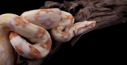 Hadi jako mazlíček