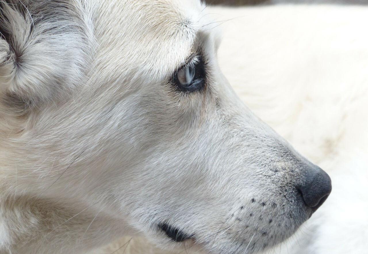 Nachlazeny pes