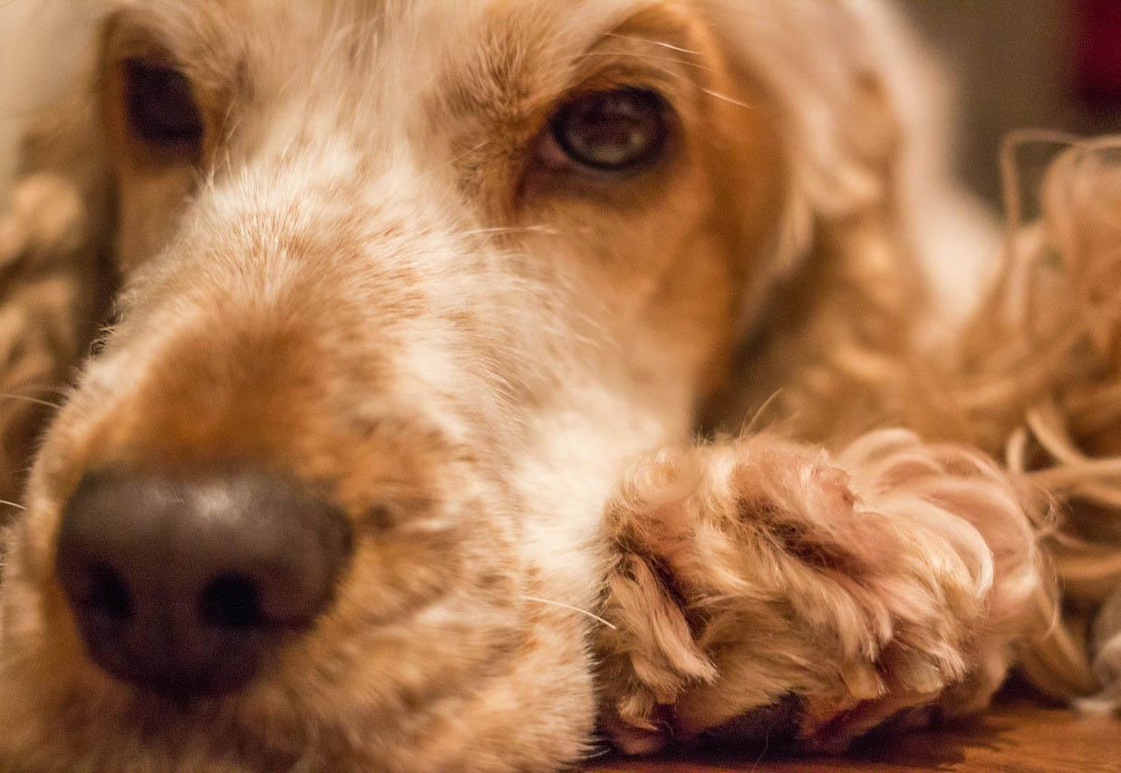 Kokršpaněl umělecký záběr na ležícího psa zblízka