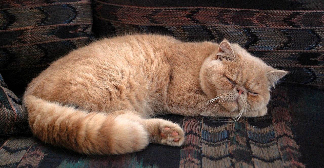 Perská kočka náhled