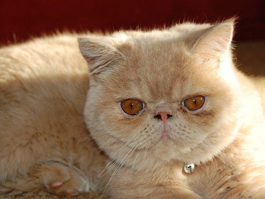 Perská kočka a její zploštělý nos