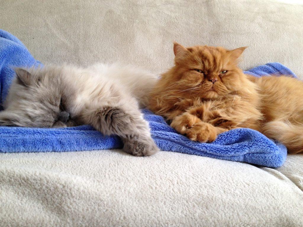 Krásné huňaté perské kočky
