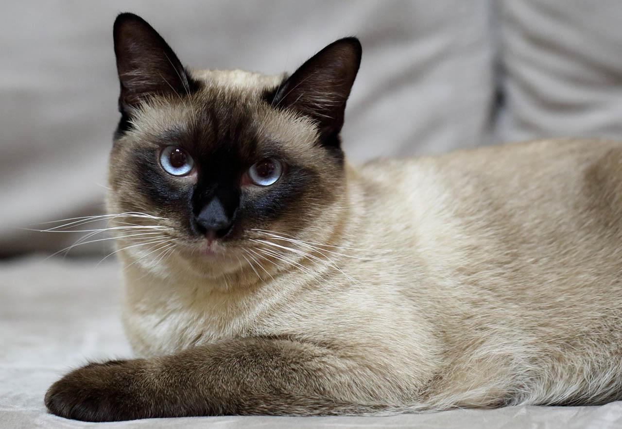 Ležící siamská kočka s modrýma očima upřenýma do kamery