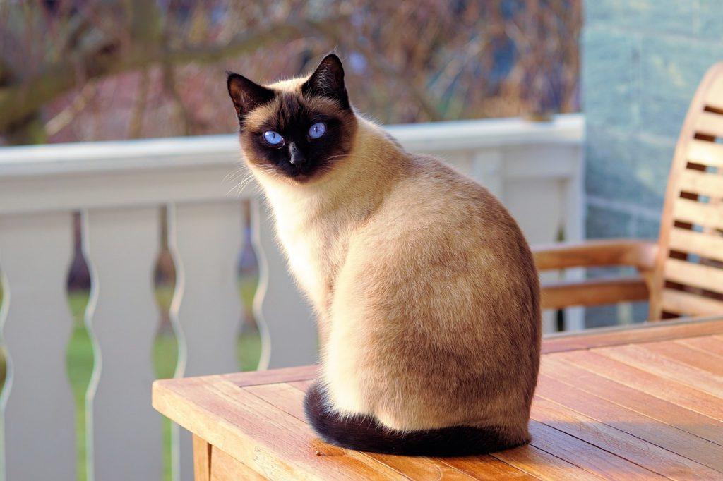 Siamská kočka sedící na zahradním stole, tělo má zády, ale kouká otočenou hlavou do kamery