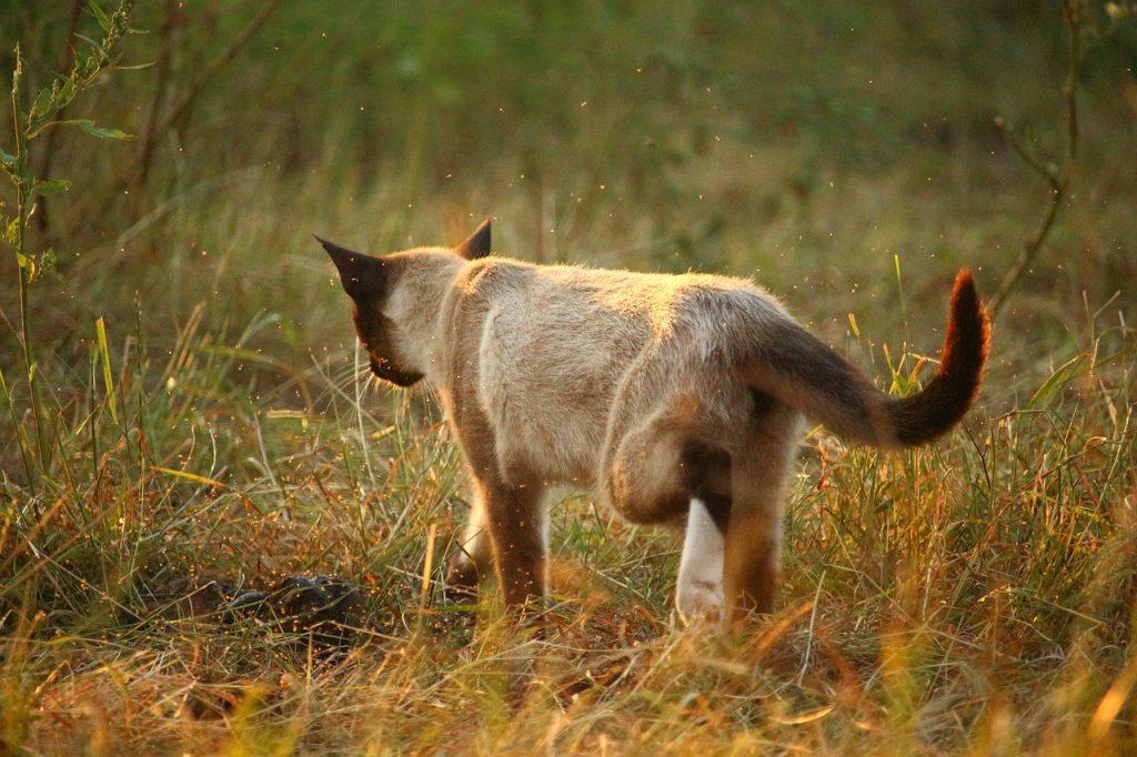 Siamská kočka venku jde sama loukou, je to otočená zády a levou zadní nohu má v chůzi zvednutou