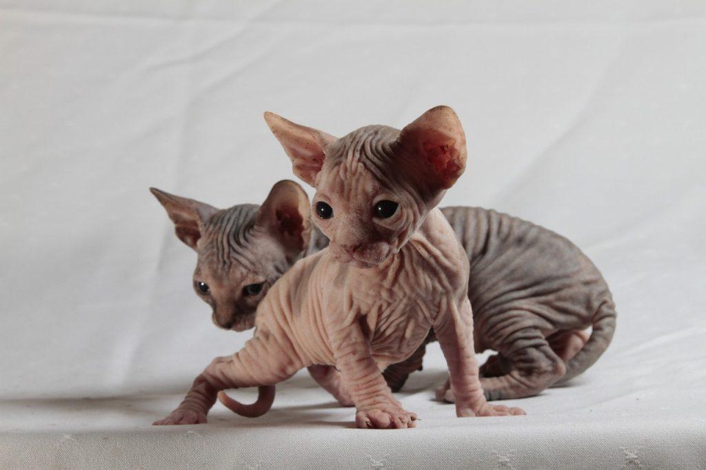 Koťata sphynx