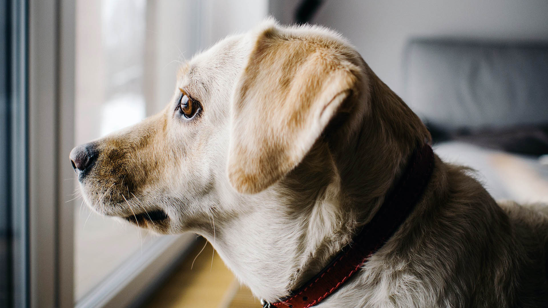 Pes sám doma koukajíc z okna