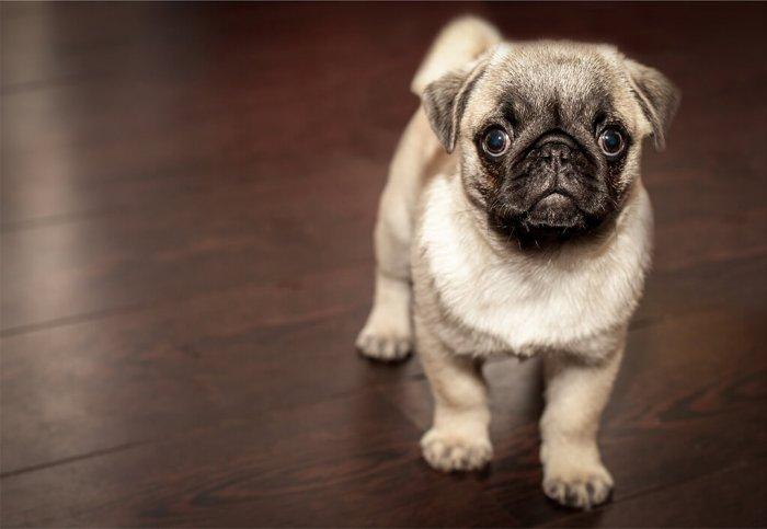 Malý pes do bytu