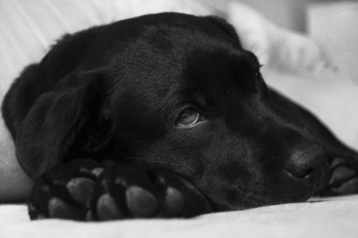 Pes s bolavými klouby