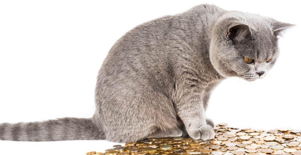Odrostlé kotě britské modré kočky zaujatě kouká na hromadu mincí