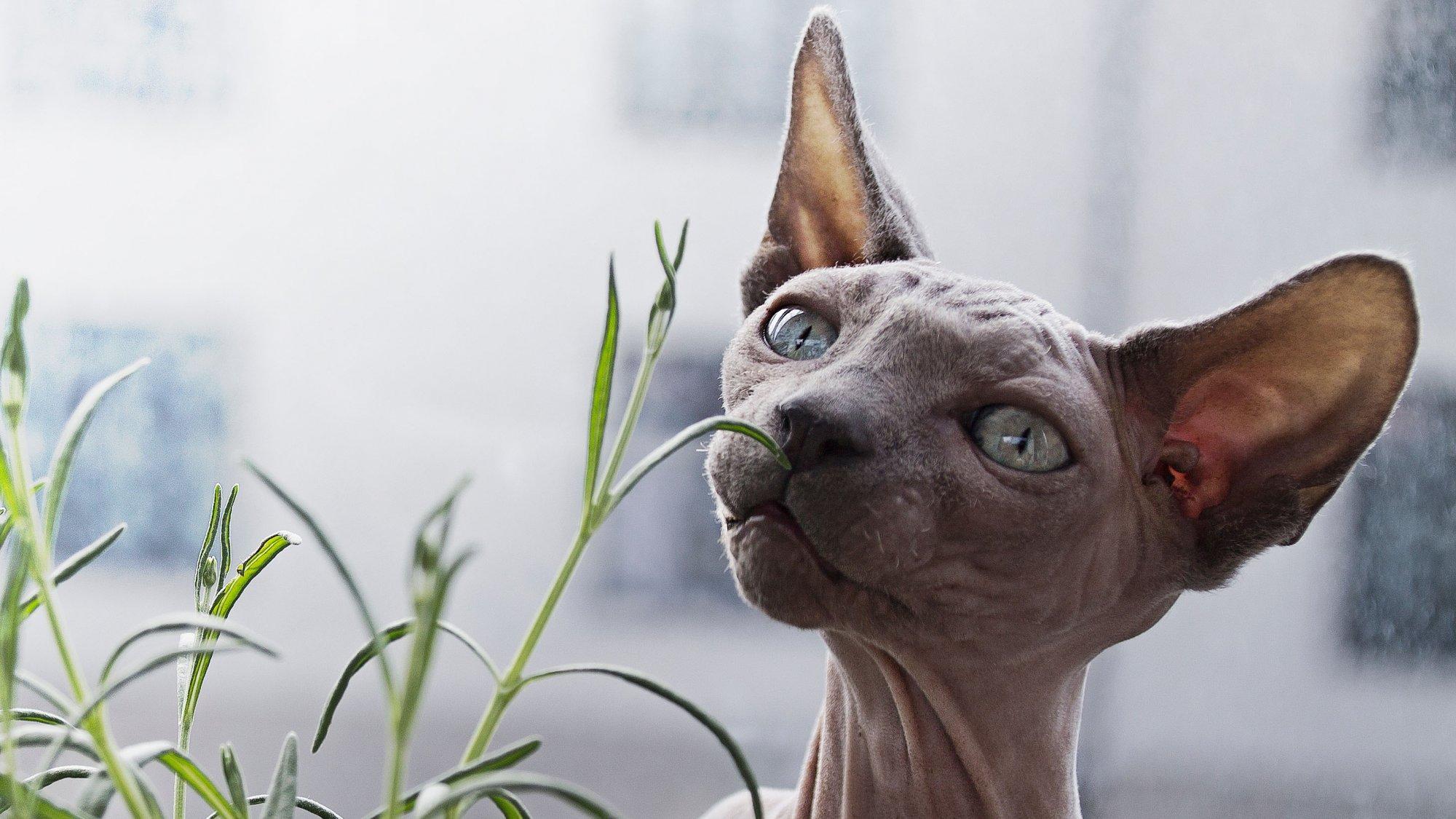 Sphynx kočičí plemeno