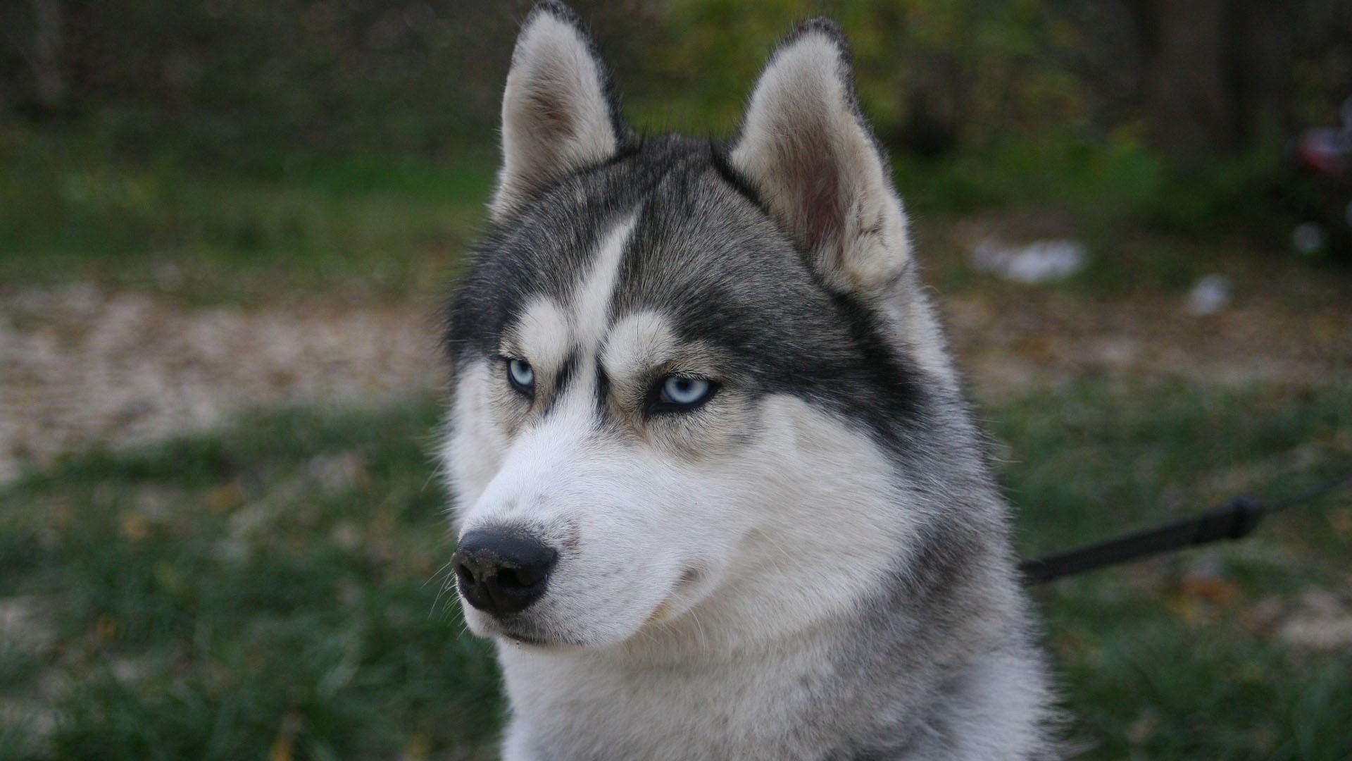 Psí plemeno husky