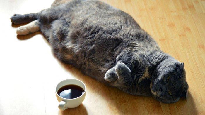 Obézní kočka