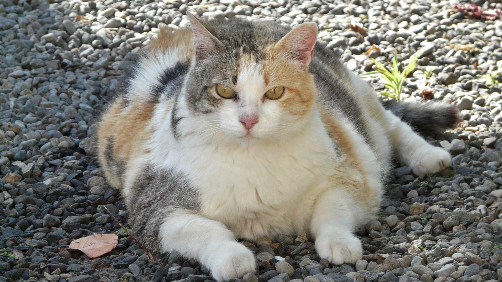 Tlustá kočka