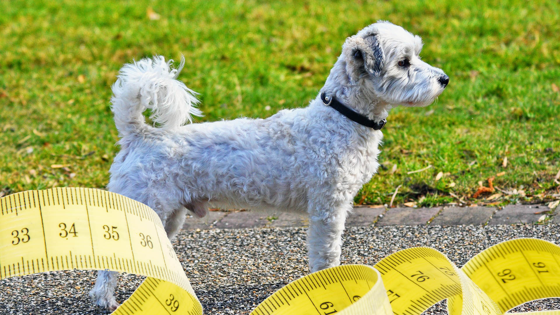 Jak měřit psa