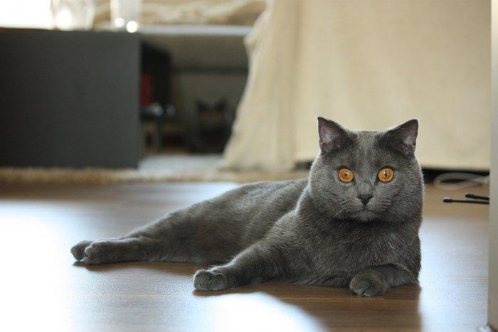 Kartouzská kočka je typická usměvavým obličejem
