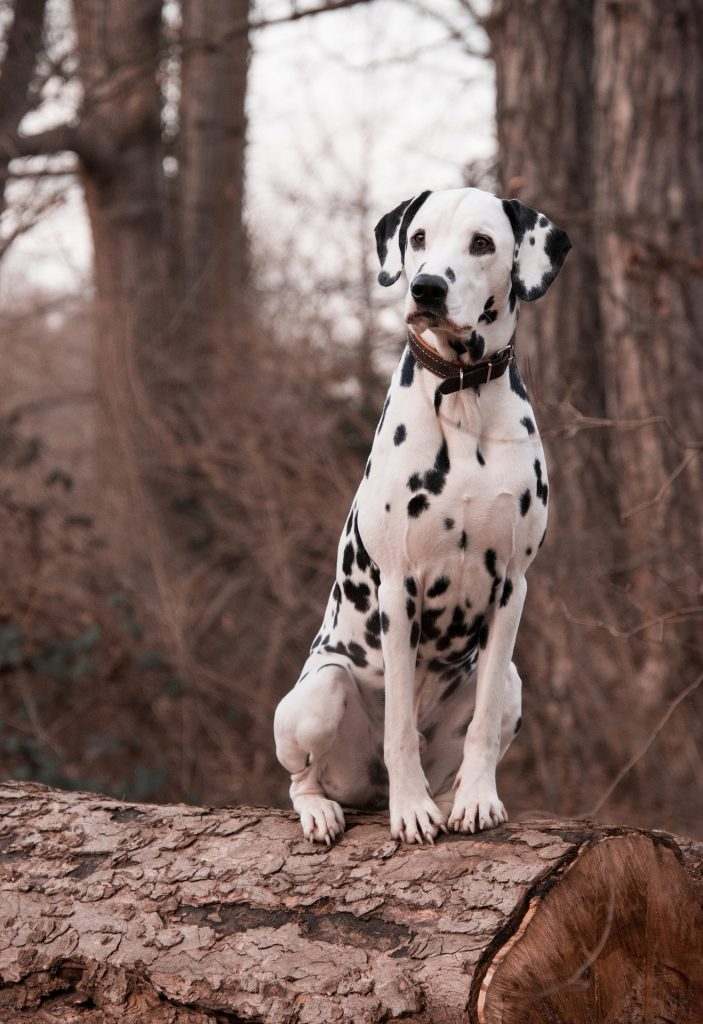 Dalmatini jsou typičtí především svými puntíky