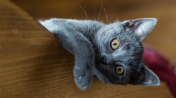 Jako u všech koček, i koťata kartouzské kočky jsou hravá, s rostoucím věkem ale ocení i klid