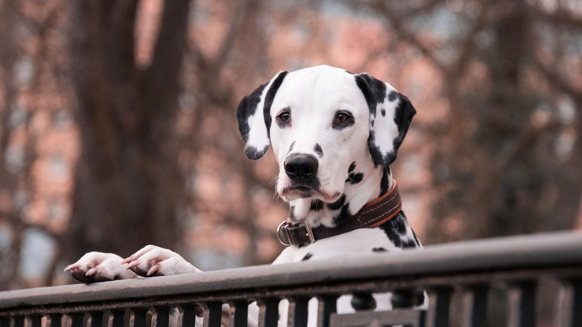 Psí plemeno dalmatin