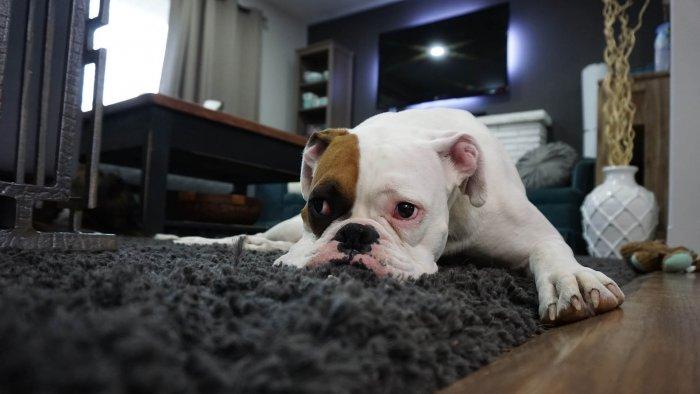 Boxer sám doma