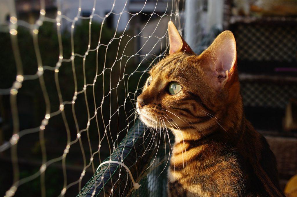 Kočka bengálská z profilu u plotu