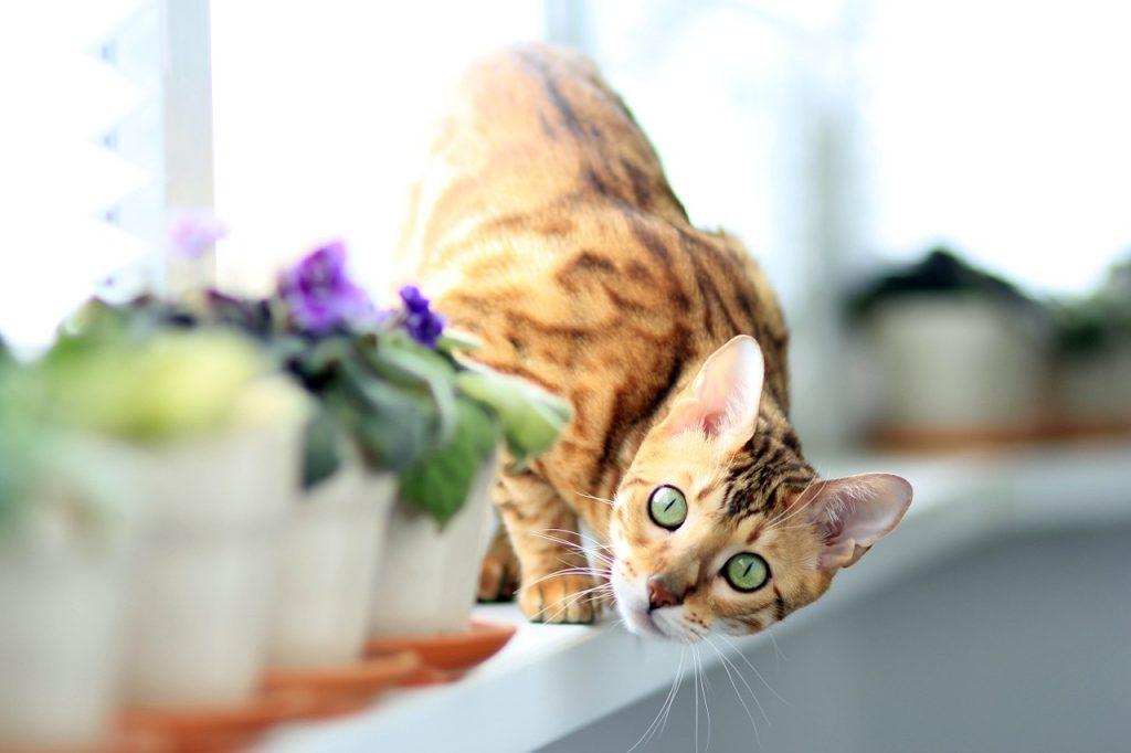Kočka bengálská na okně