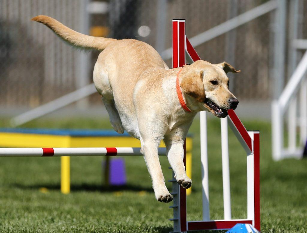 Výcvik labradorského retrívra