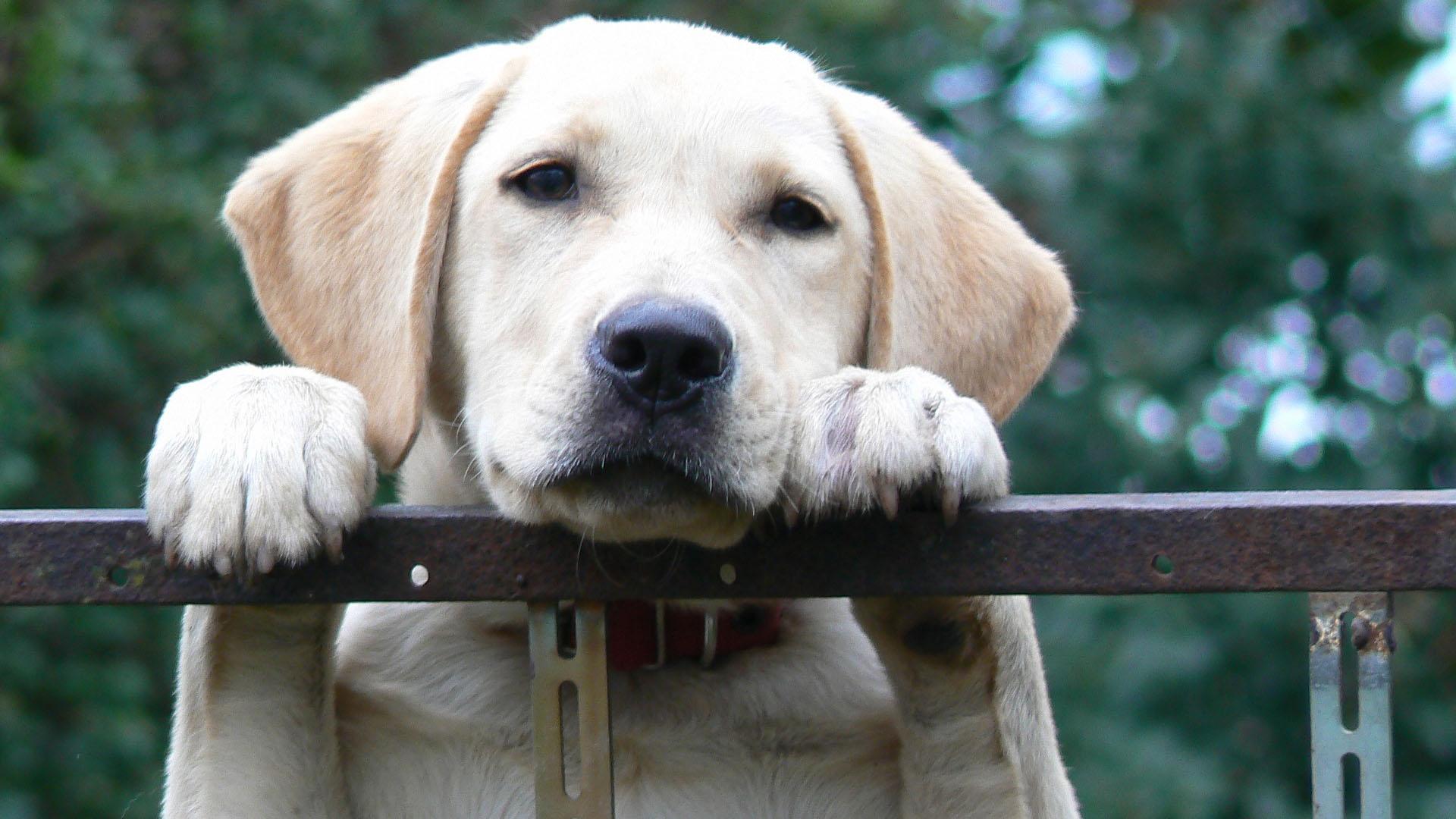 Psí plemeno labrador