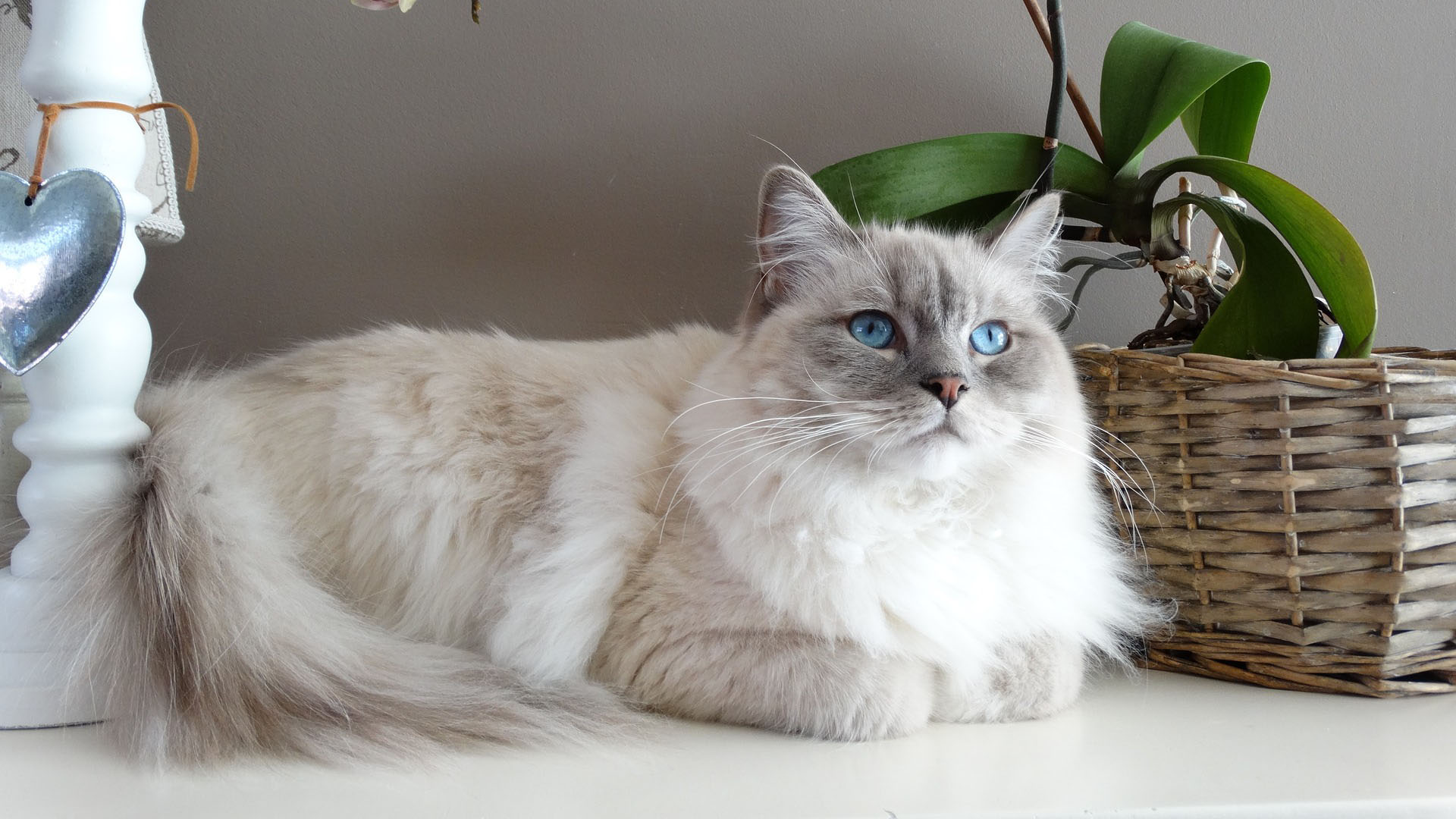 Kočičí plemeno Ragdoll