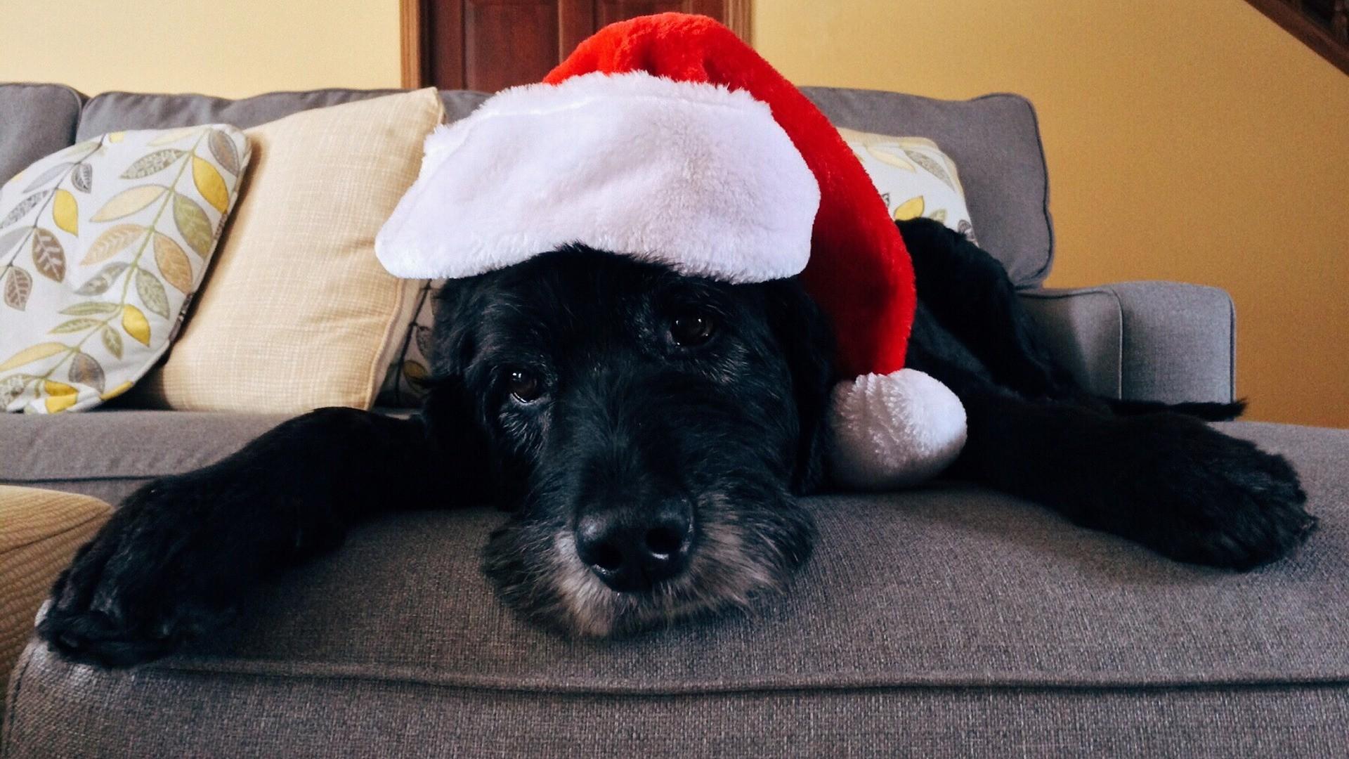 Pes a vánoční pohoda