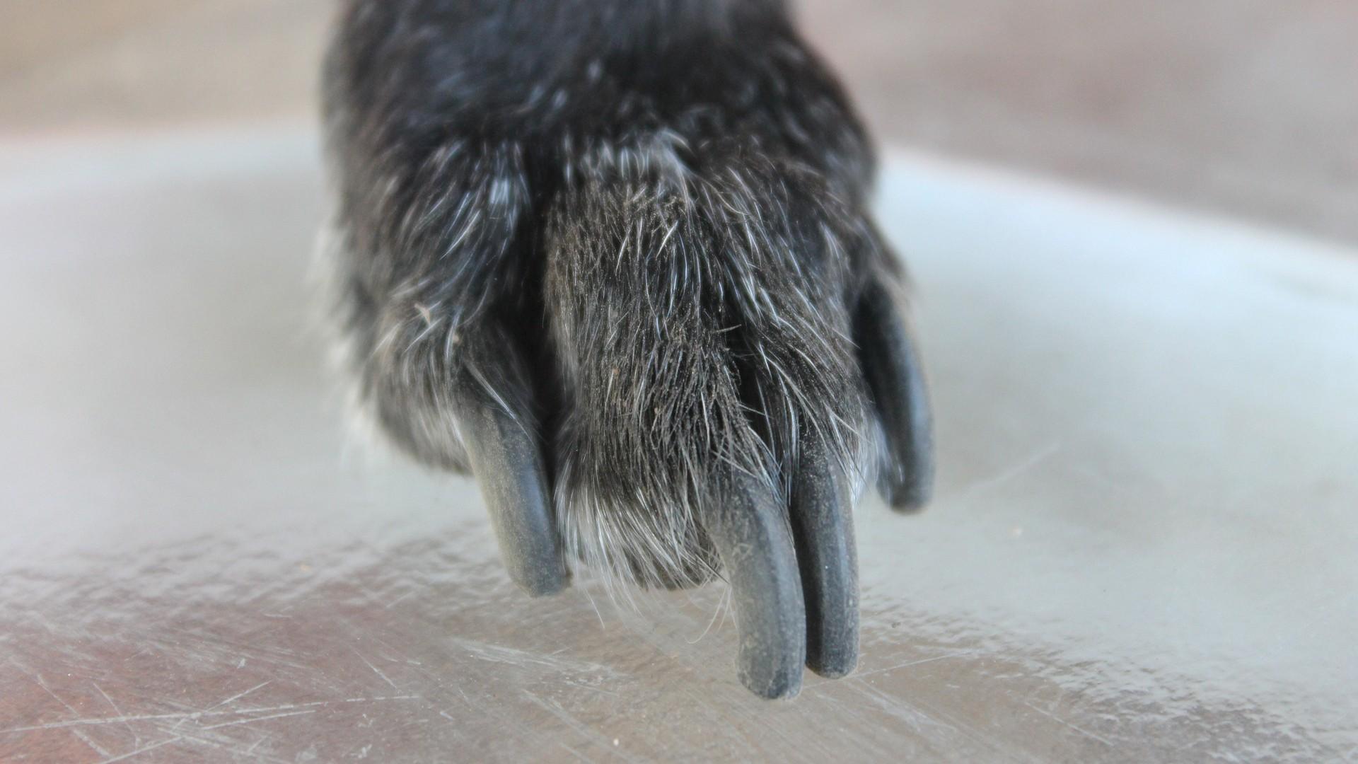 Pes s přerostlými drápy