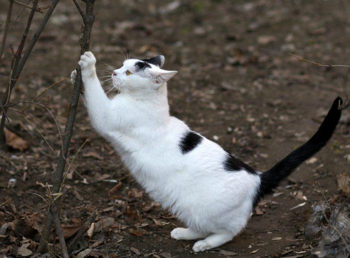 Kočka brousící si drápy o keř