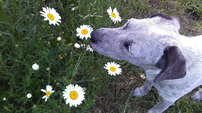 Pes čichá k sedmikrásce