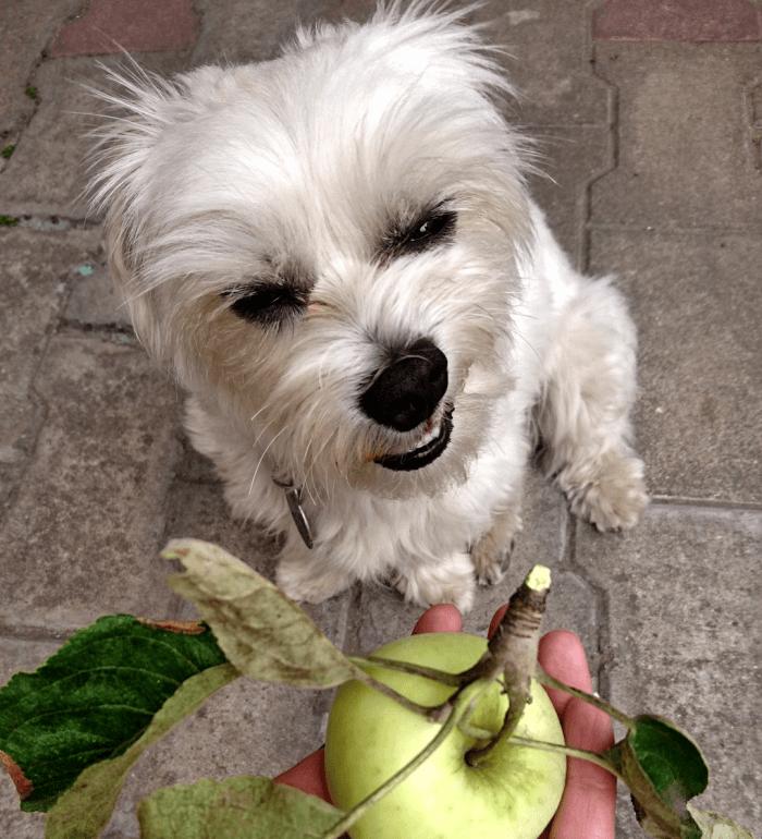 Pes a jablko