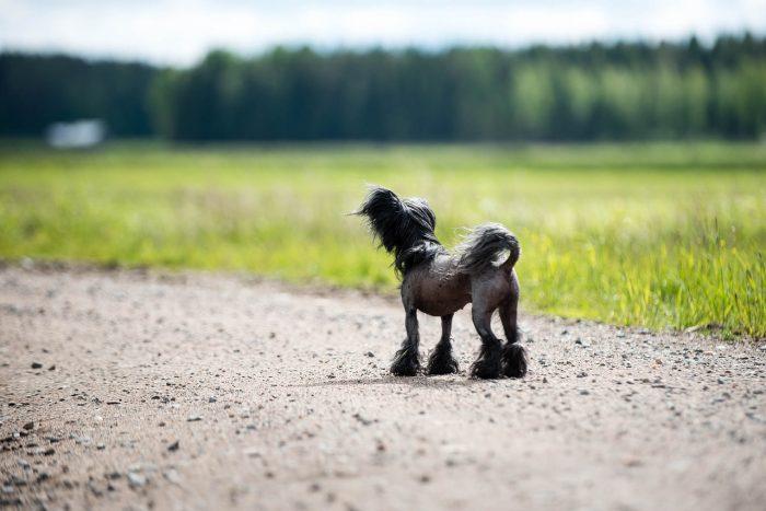 Čínský chocholatý pes, naháč