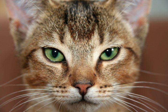 Hlava habešské kočky