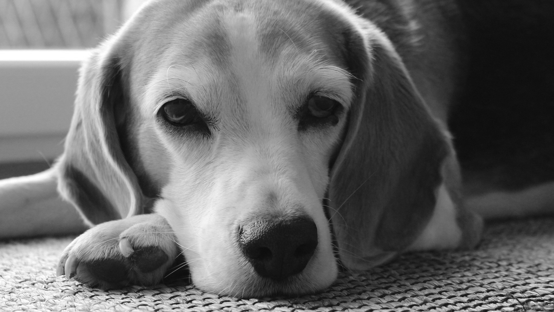 Anglický foxhound