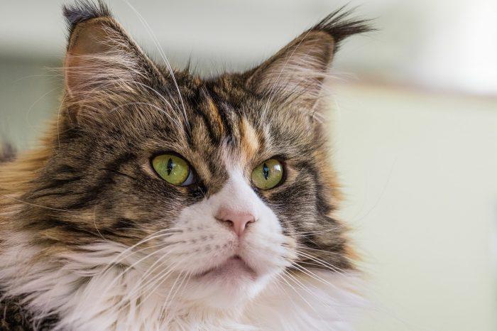 Mainská mývalí kočka zblízka