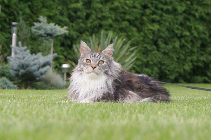 Mainská mývalí kočka – venčení