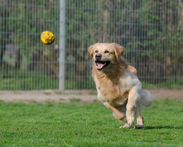 Zlatý retrívr aportuje tenisový míč