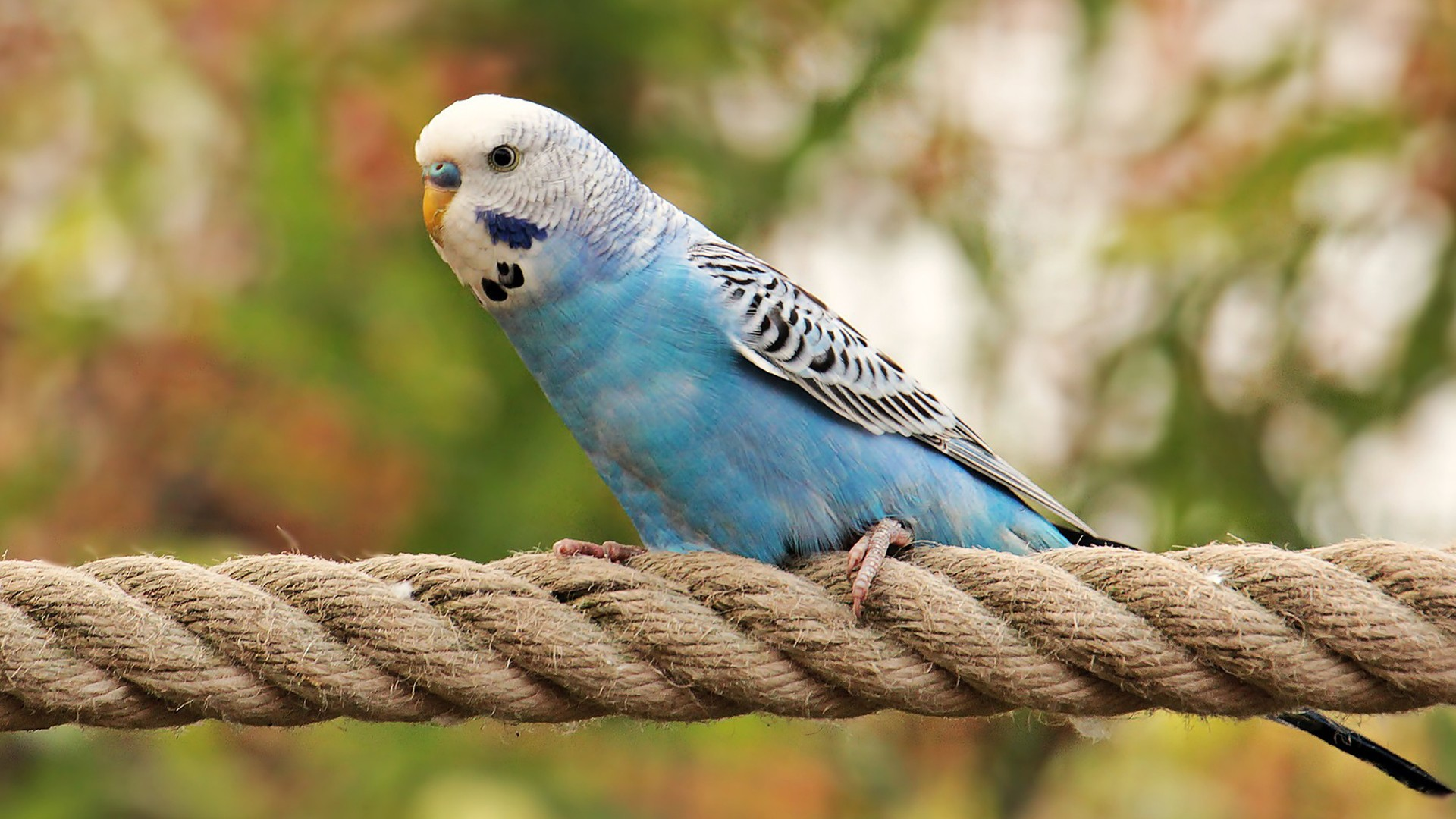 Modrá andulka na provaze