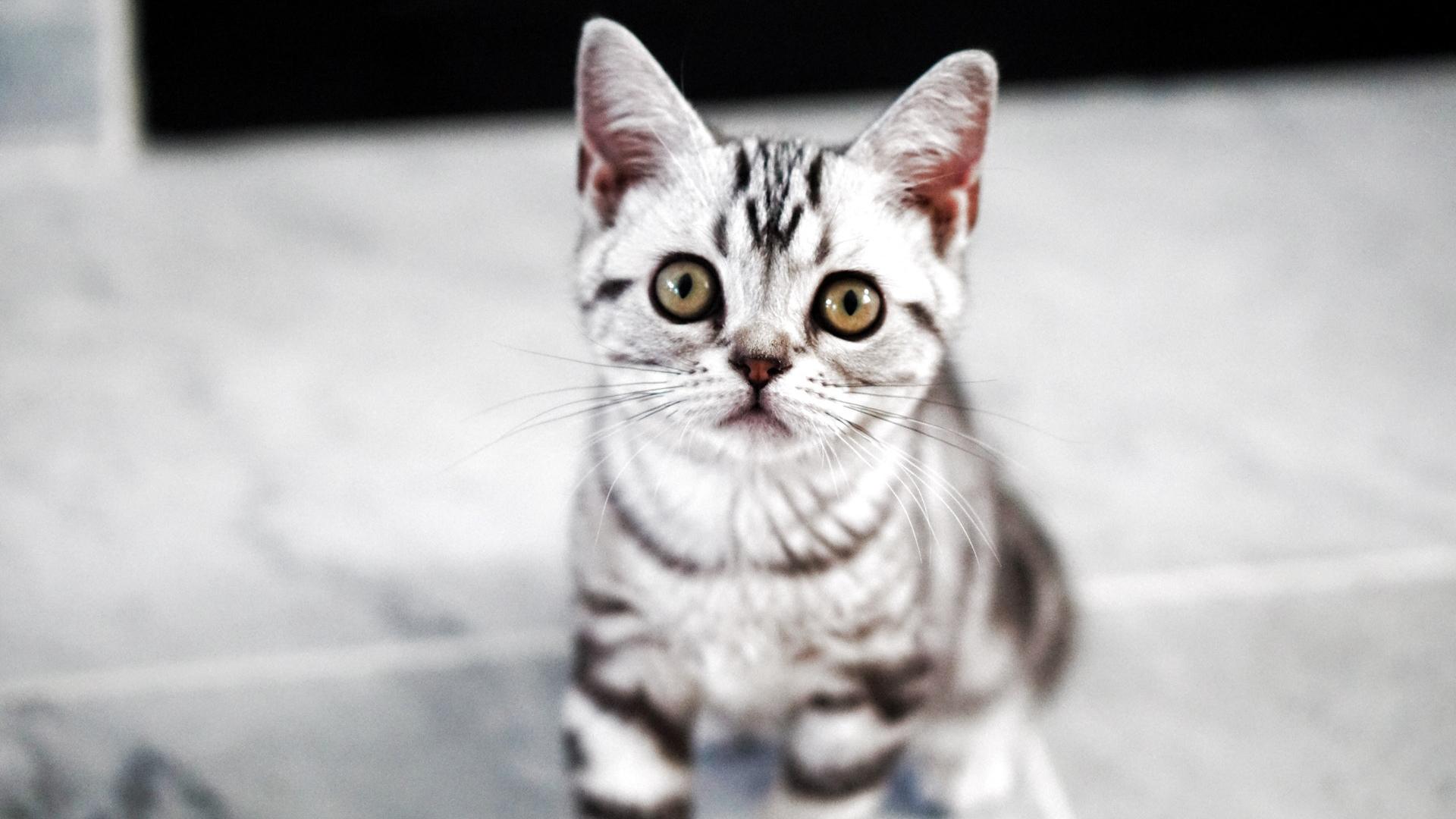 Kotě americké krátkosrsté kočky