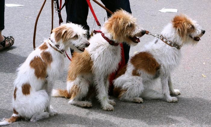 Psi na vodítku